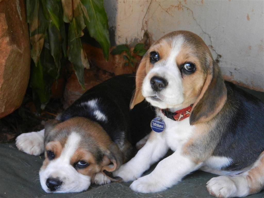 Beaglier Beagliers Beagle Cavalier King Charles Spaniel Hybrid Beagle Puppy Beagle Dogs