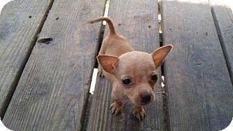 Berwick Pa Miniature Pinscher Cairn Terrier Mix Meet Bug A
