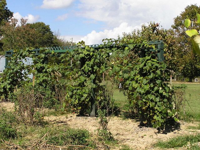 Pruning Concord Grape Vines Fruit Orchards Forum Gardenweb