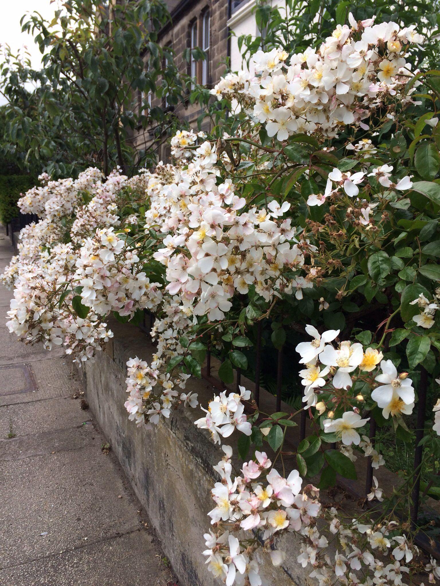 Edinburgh and East Lothian | Rose hedge, Garden design ...