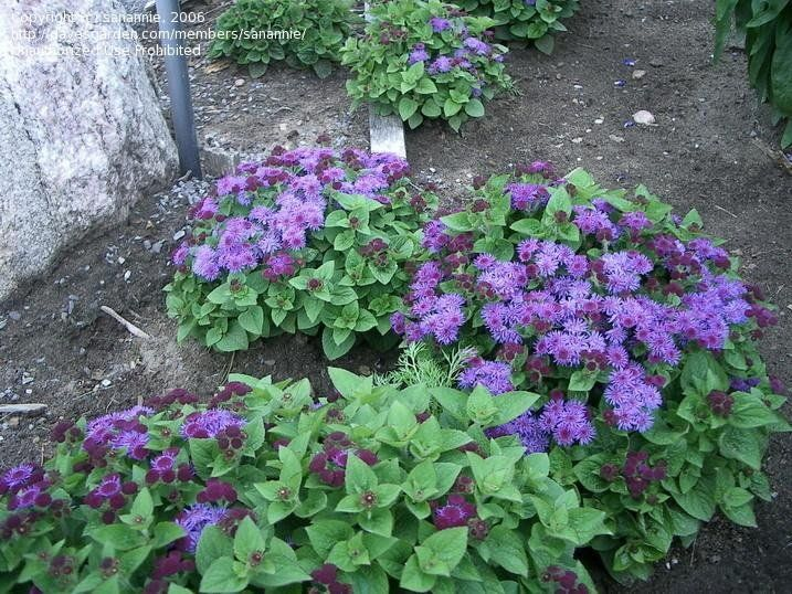 View Picture Of Floss Flower Ageratum Hawaii Blue Ageratum Houstonianum At Dave S Garden All Pictures Are Contribu Summer Plants Front Flower Beds Plants