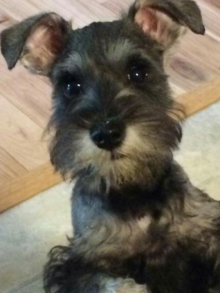 Oh my, the face here! ♡ Schnoodle dog, Puppy breath