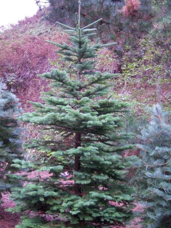 Grand Fir Noble Fir Christmas Tree Live Christmas Trees Christmas Tree Farm
