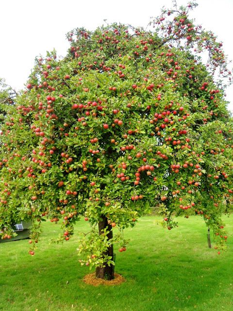Apple Tree Young Fruit