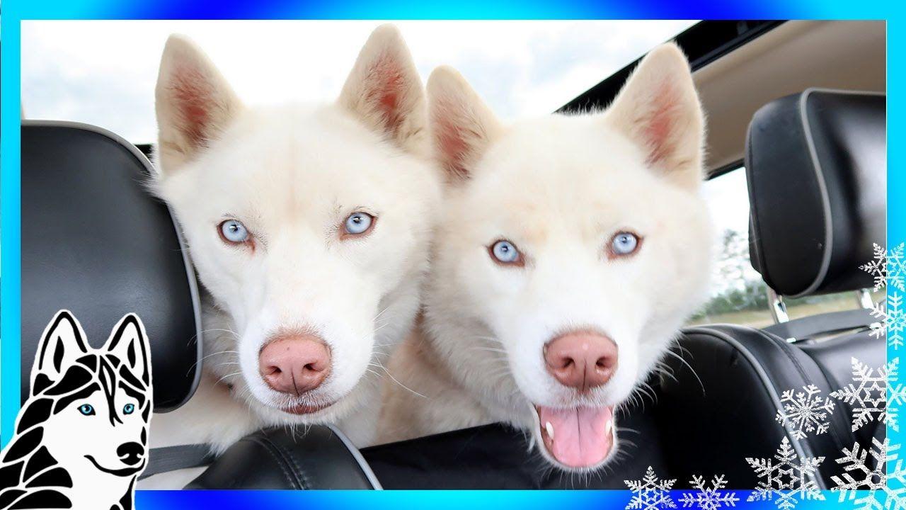 Meet Husky Bella And Bowe Help Us Help Huskies Once Again We Are