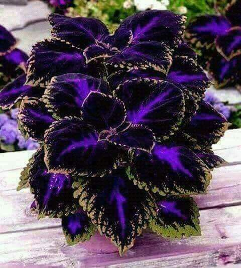 Coleus complete plant care guide and growing tips
