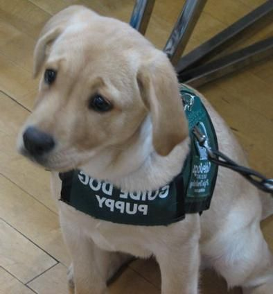 Guide Dog Puppy In Training Guide Dog Working Dogs Dog Hero