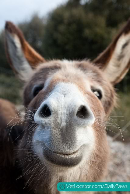 Daily Paws Daily Picture of the Day: Happy Donkey! - http://www.vetlocator.com/dailypaws/2013/10/daily-paws-daily-picture-of-the-day-happy-donkey/