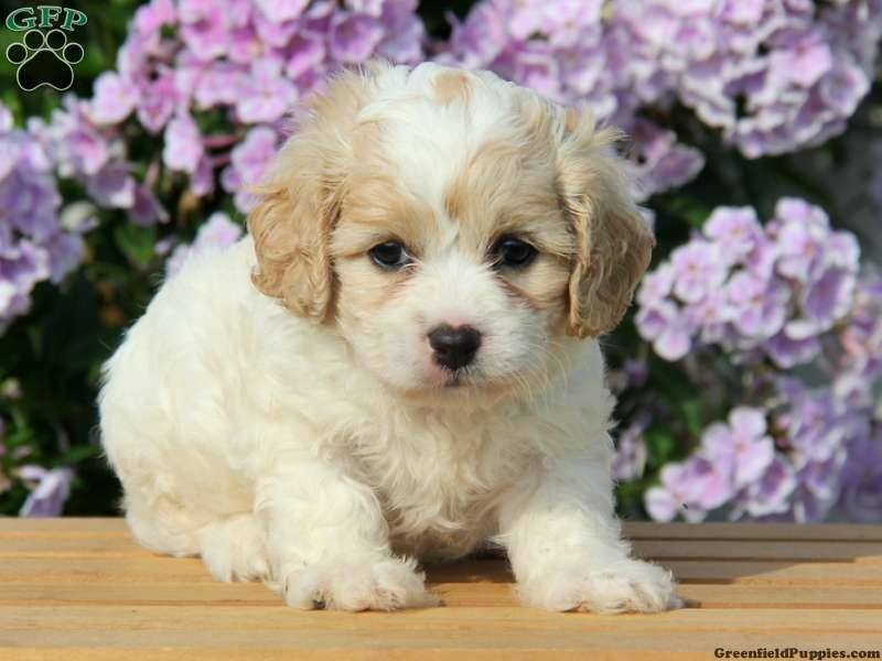 Tiny Chihuahua Mix Puppy For Sale In Pennsylvania Cavachon