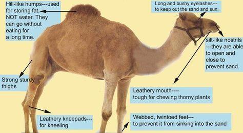 Image Result For Adaptation Camel Habitat