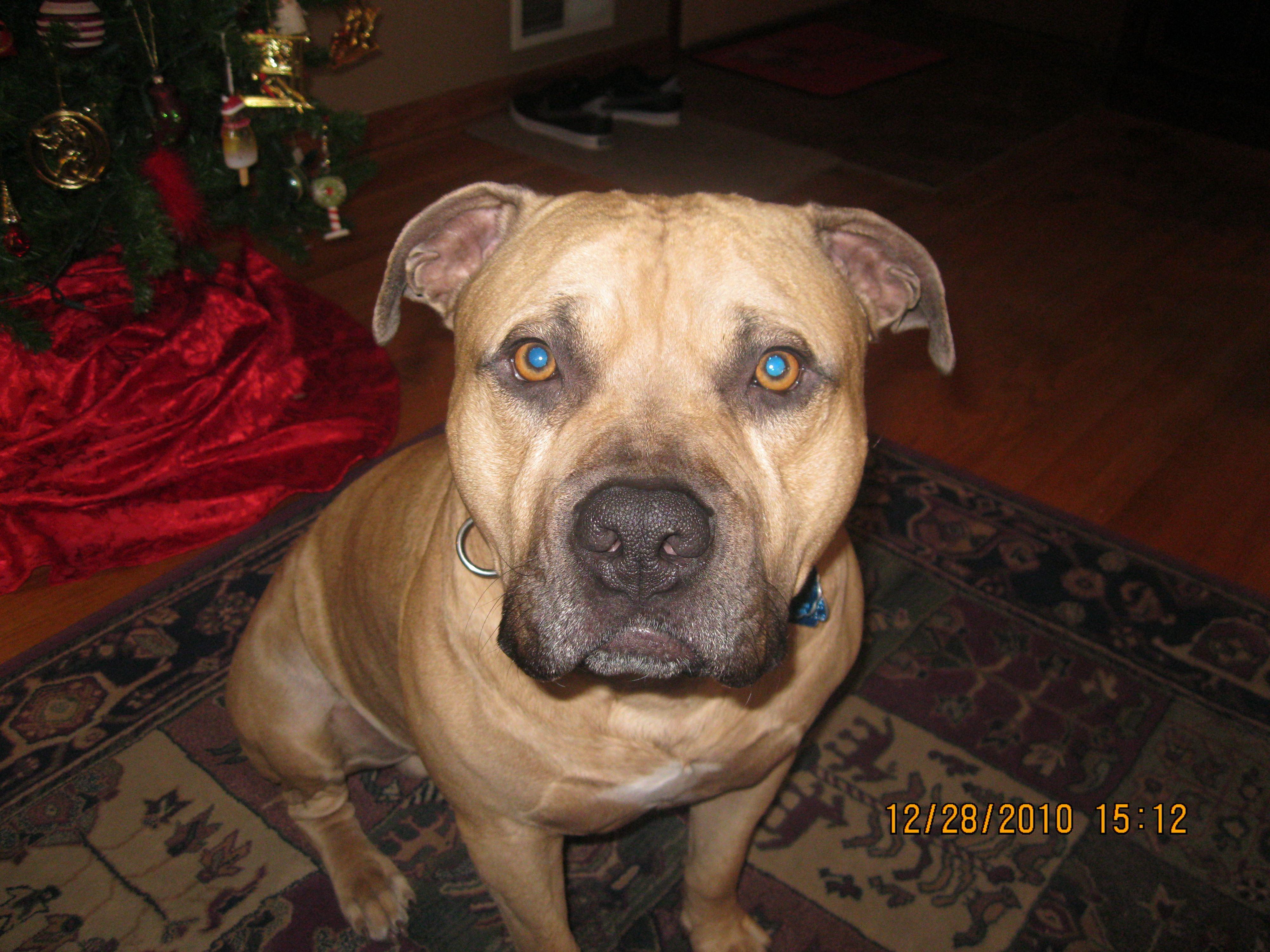Pit bull mastiff mix   Love Frenchies/Dogs   Pinterest ...