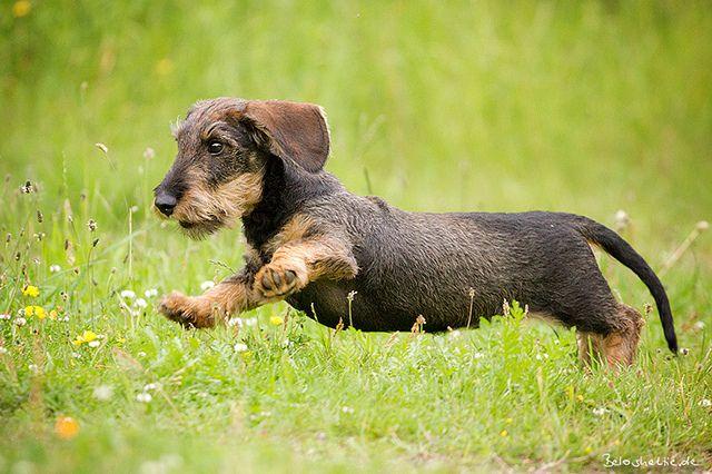 9543 Wire Haired Dachshund Dachshund Dog Weenie Dogs