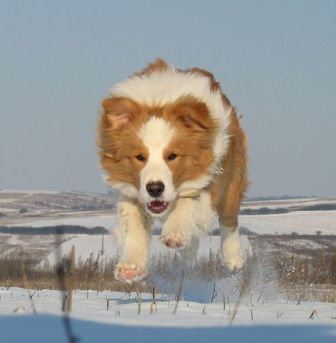 Golden Border Collie!