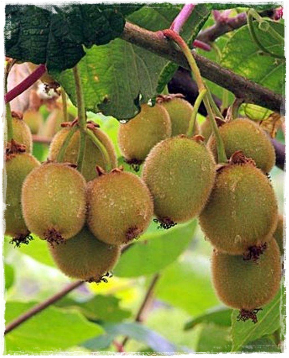 Fiori Kiwi.Kiwi Jenny Autofertile Kiwi Kiwi Frutta E Piante