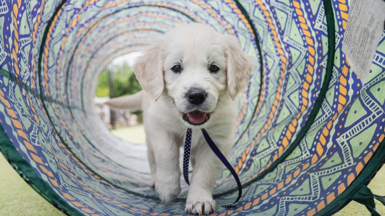 English Cream Golden Retriever jake Dogs golden