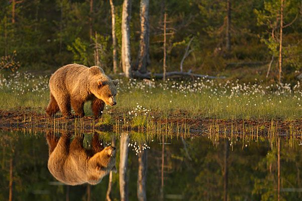 The Brown Bears In The Boreal Forest Dominant Consumer Taiga Brown Bear Boreal Forest Bear Pictures