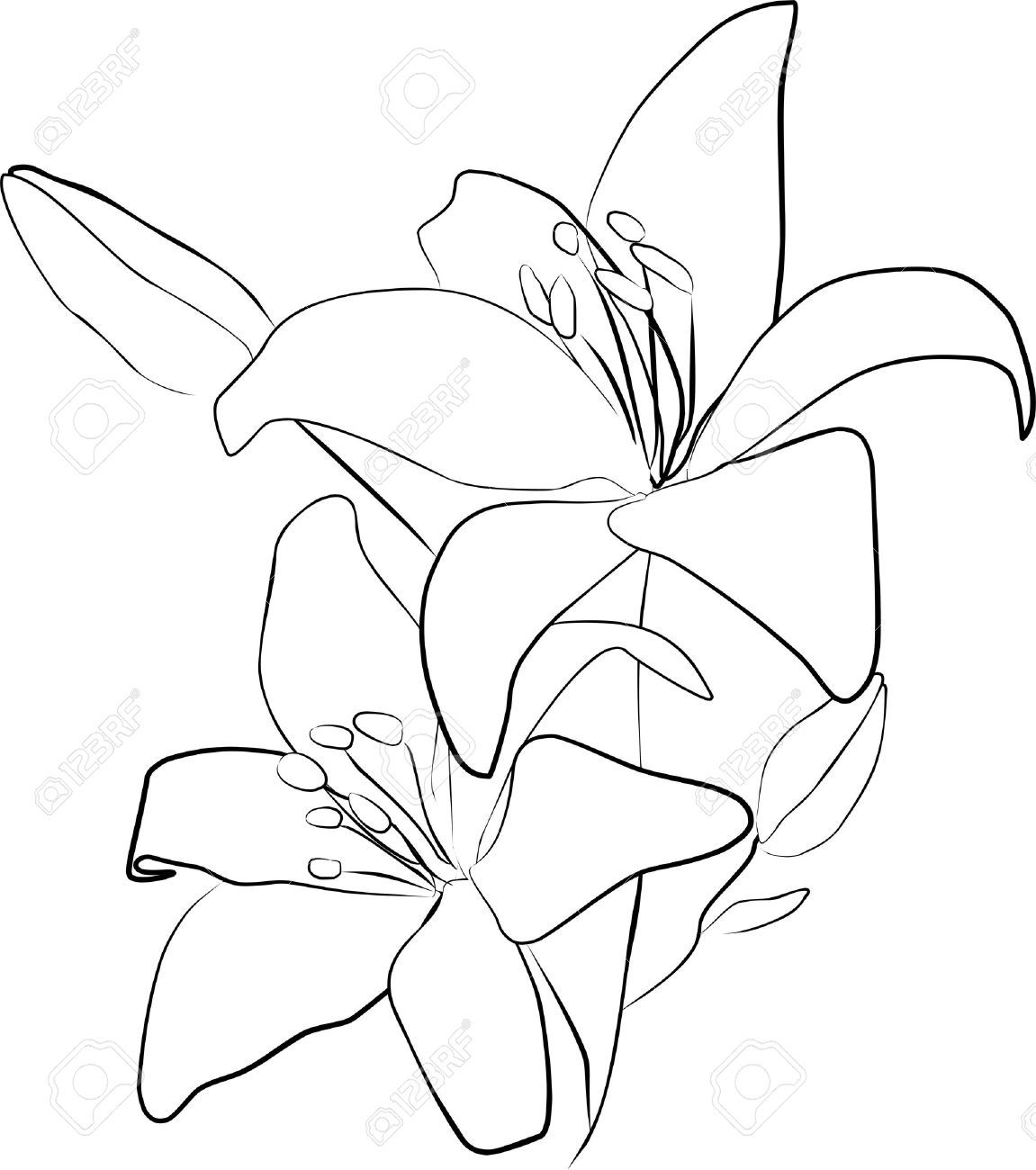 Line Drawing Lily : Calla lily drawing outline imgkid the image