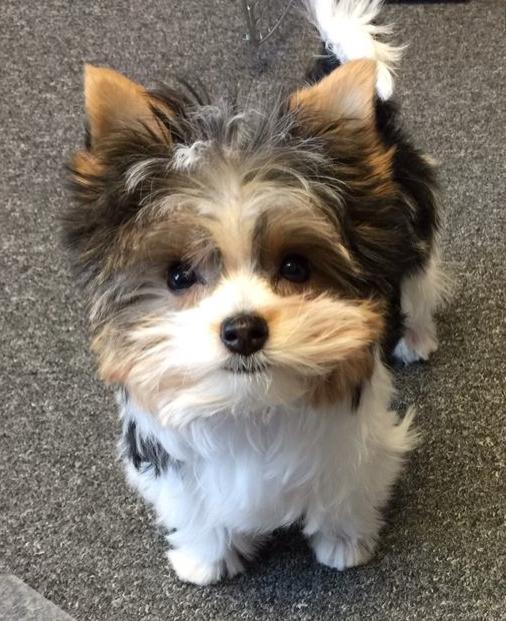 Biewer pup Yorkshire terrier dog, Biewer yorkie
