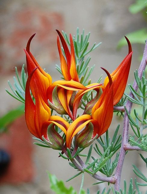 Lotus Berthelotii, commonly known as Parrot's Beak, is found in the Canary Islands and the Cape Verde Islands.