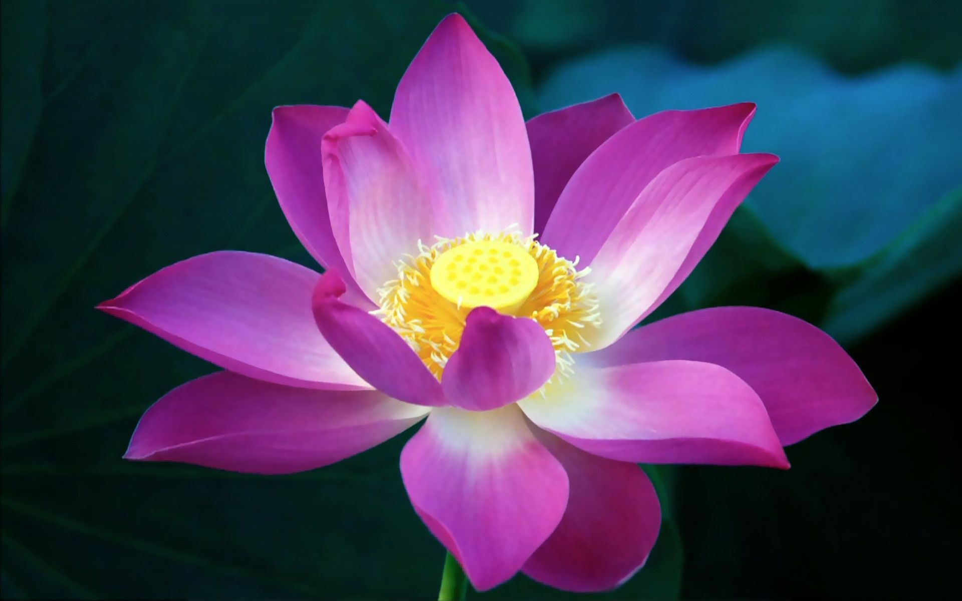 Purple lotus flower wallpapers high quality lotus pinterest purple lotus flower wallpapers high quality mightylinksfo