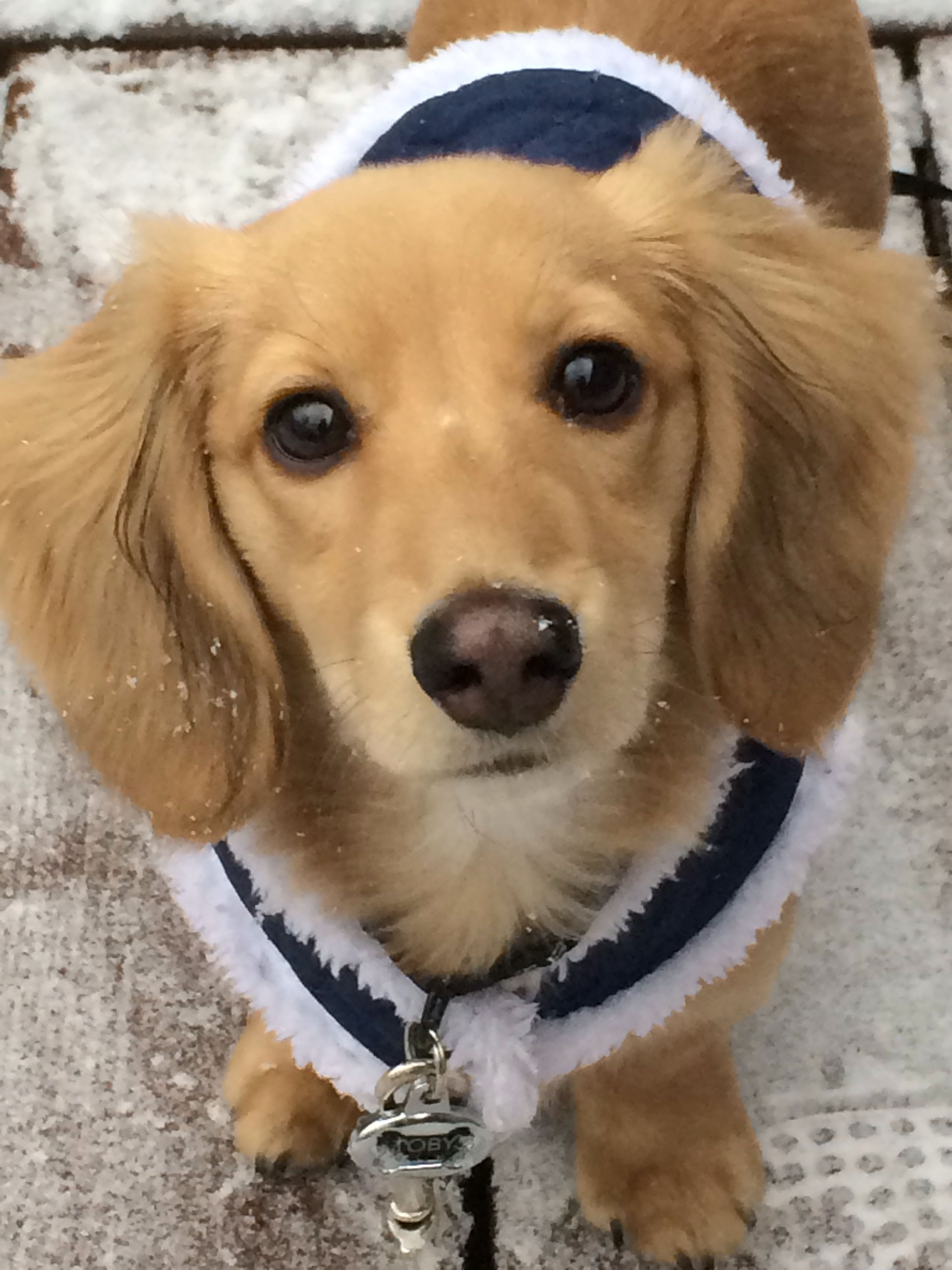 English Cream Dachshund I Will Have One Someday Its The Perfect Combo Of Golden Retriever And A Doxie English Cream Dachshund Dachshund Puppies Cute Animals