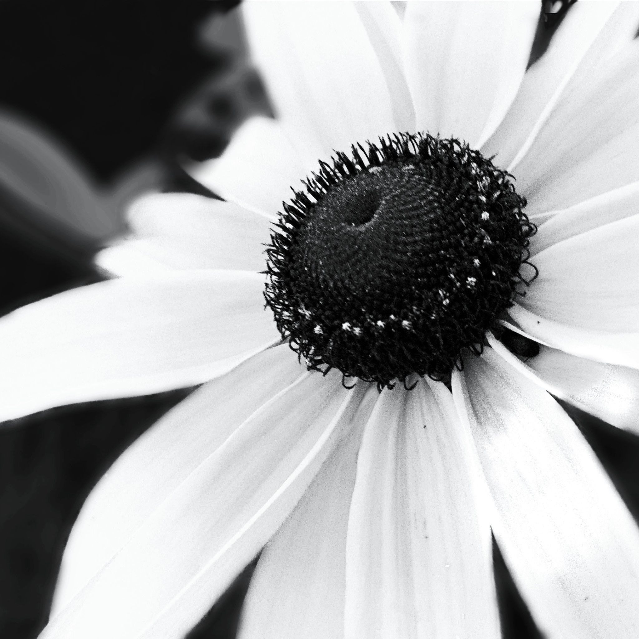 Black And White Flower Photography By Aubree Oklahoma