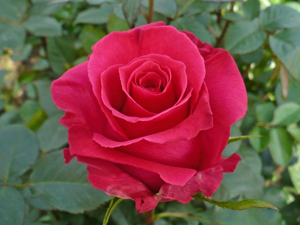 Hot Lady Is A Rich Raspberry Pink Rose Rose Garden Pinterest
