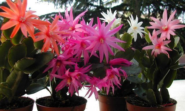 C mo cultivar el cactus de navidad jardineria y cuidados for Informacion sobre el cactus
