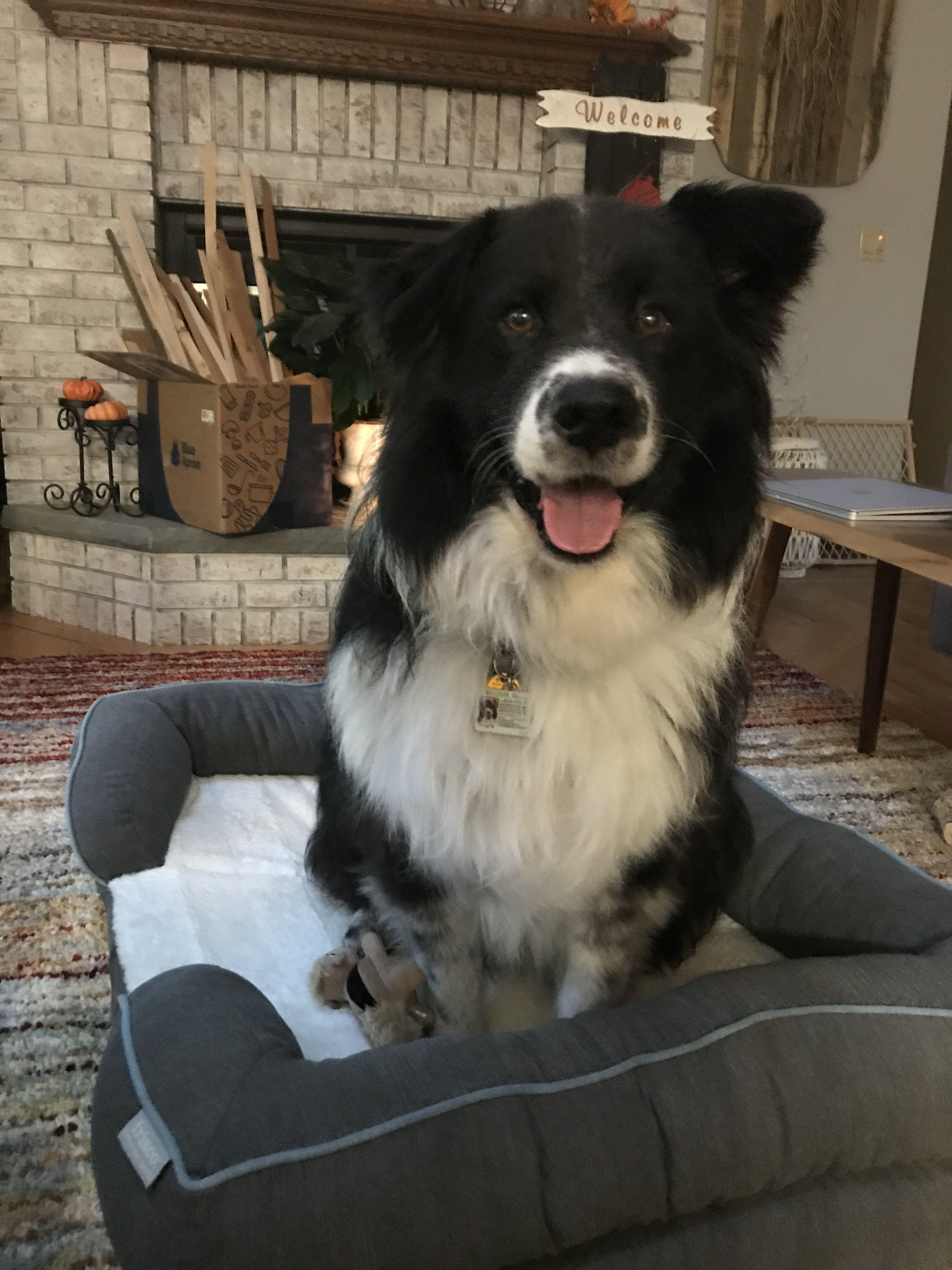 Border Collie Samoyed Mix Boo Black And White Dog