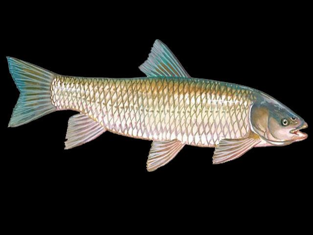 Freshwater Fish List Beginning With G