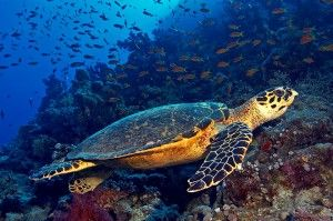 Hawksbill sea turtles bounce back. Thought to be almost extinct, the species is staging a comeback on the Pacific Coast of Central America: http://thecostaricanews.com/return-of-hawksbill-sea-turtles/16779