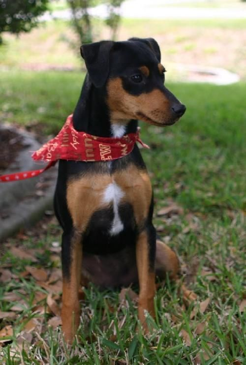 Mini pinscher mix