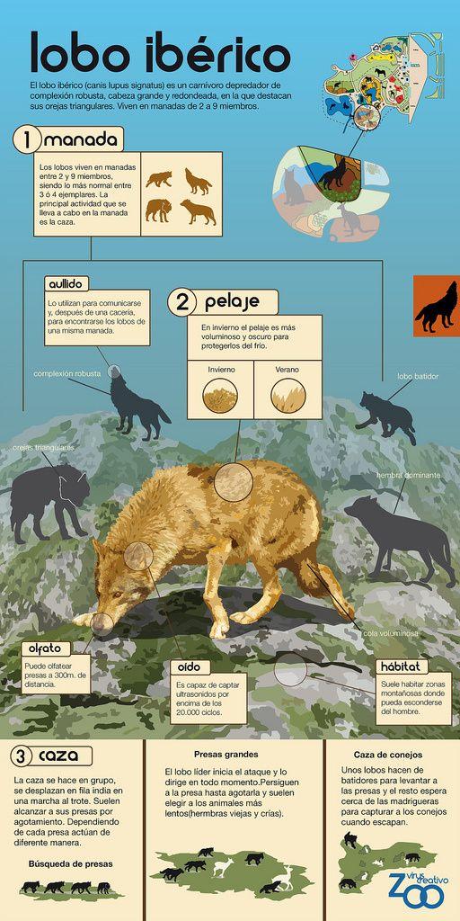 Entradas Sobre Animales En Infografias En Castellano Infografia De Animales Animales En Peligro De Extincion Lobo Iberico