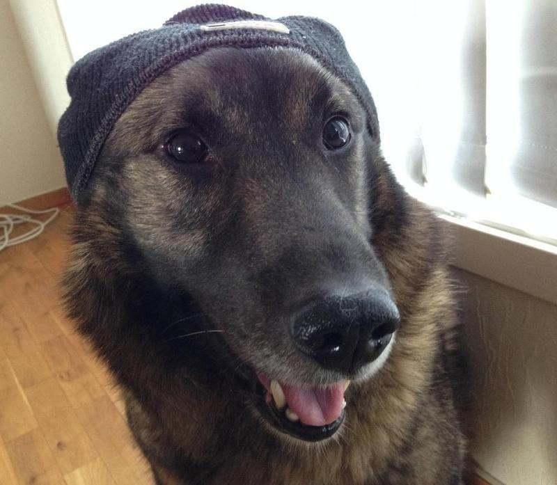 Norwegian Elkhound German Shepherd Mix So Handsome Xo