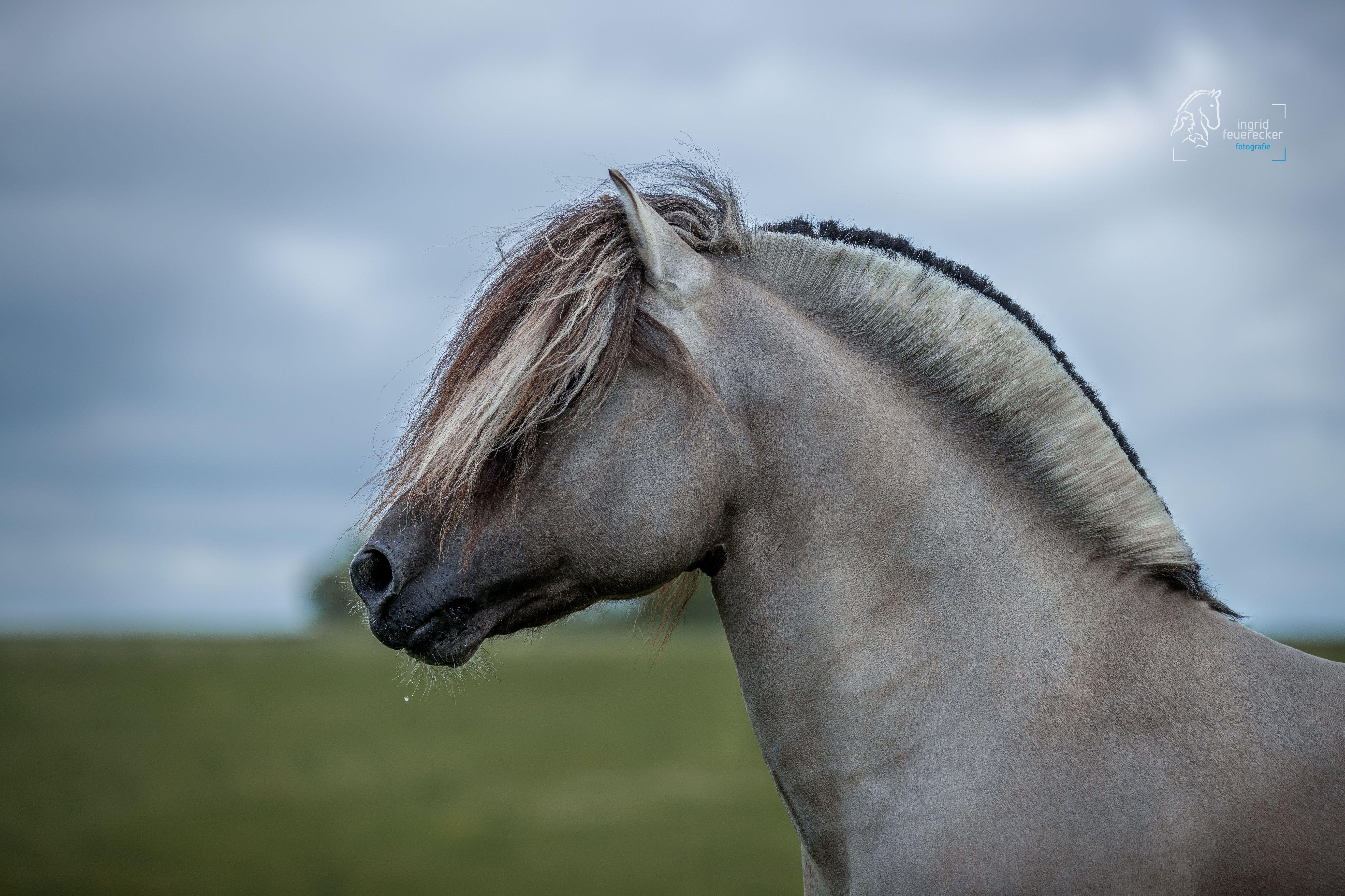 Portrait von Deckhengst Marlon aus der #fjordpferdezuchtneuss    Pferdeportrait by Ingrid Feuerecker. Pferdefotografie. Tierfotografie. Hundefotografi…