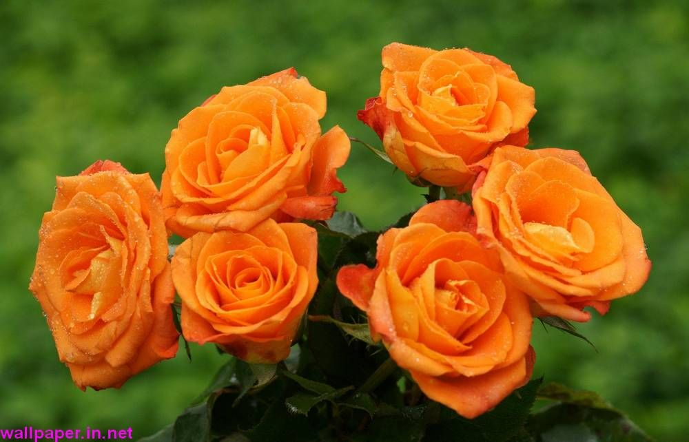 Colorful Bouquet Rose Hd Wallpapers Free Download Orange Roses Orange Flowers Beautiful Flowers Wallpapers