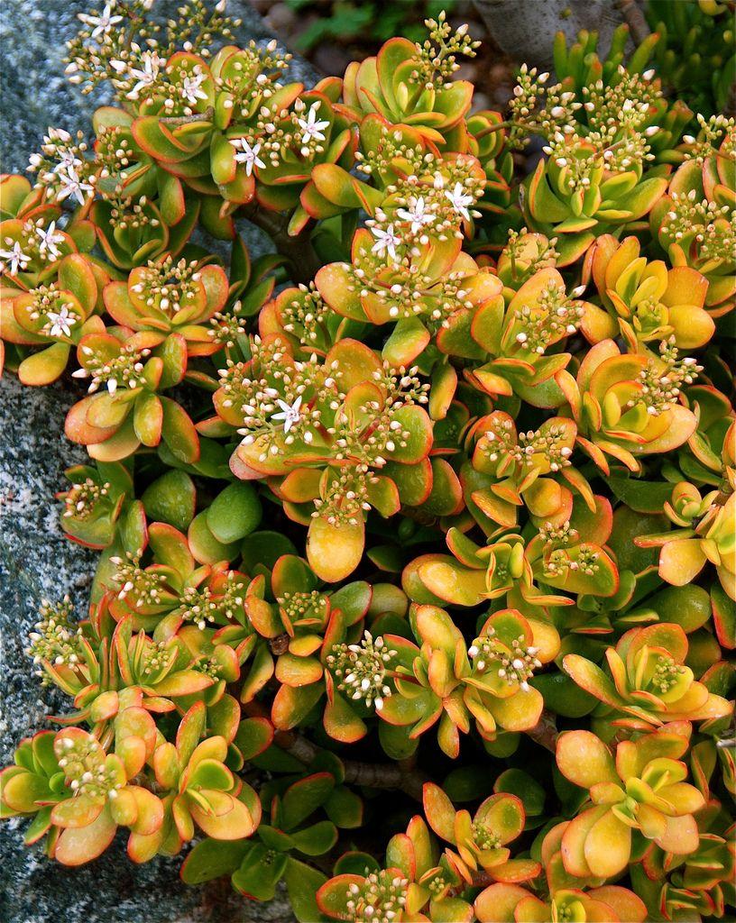 Crassula ovata hummels sunset jade jade plants