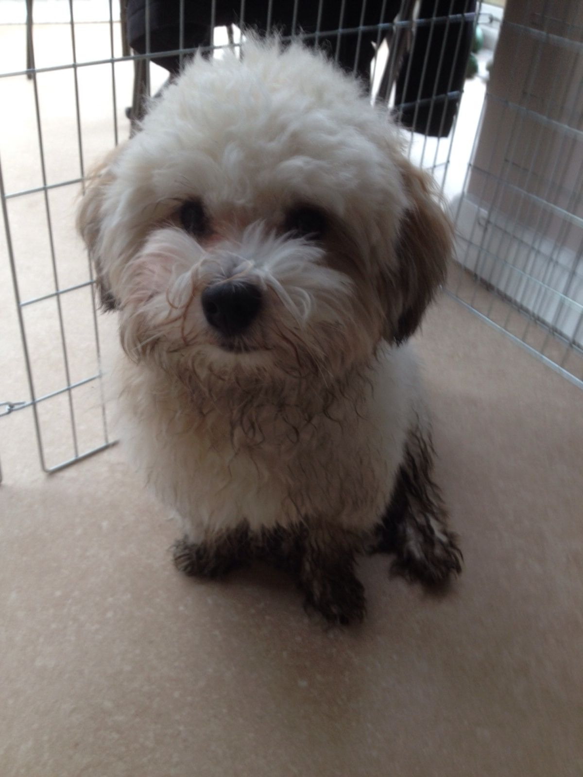 Barney today after a walk! Havanese dogs, Havanese, Dogs