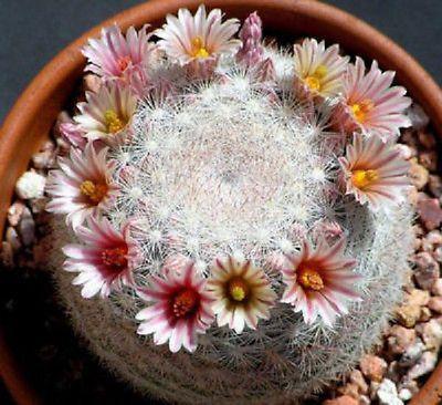 mammillaria candida 10 cactus succulent seeds