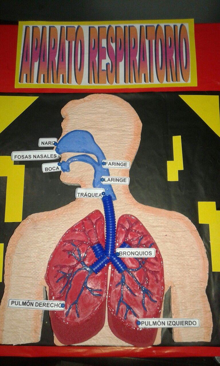 Aparato Respiratorio Maqueta Del Sistema Respiratorio Maqueta