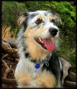australian shepherd terrier mix