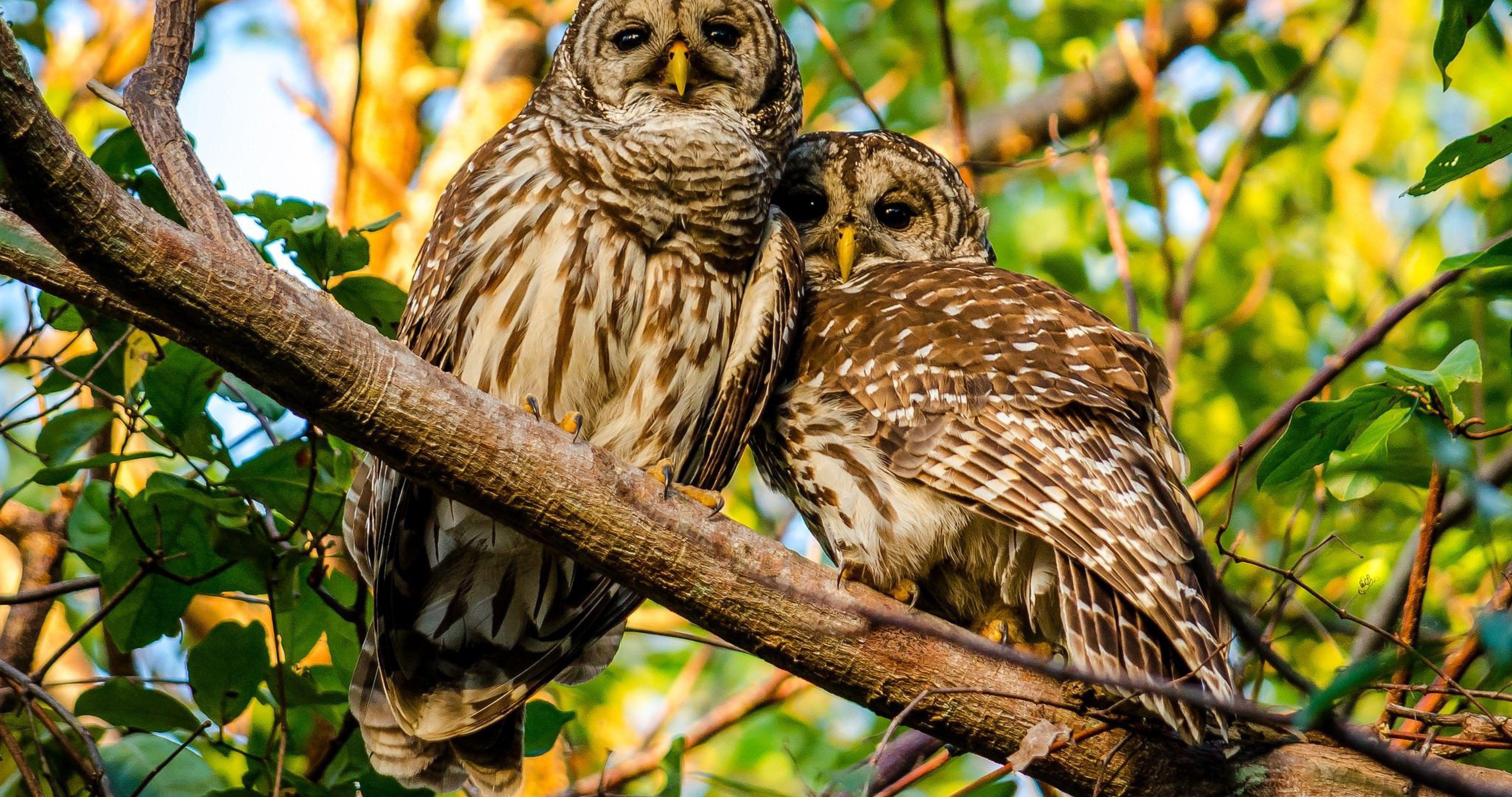 mottled owl 4k ultra hd wallpaper Owl, Birds, Owl bird