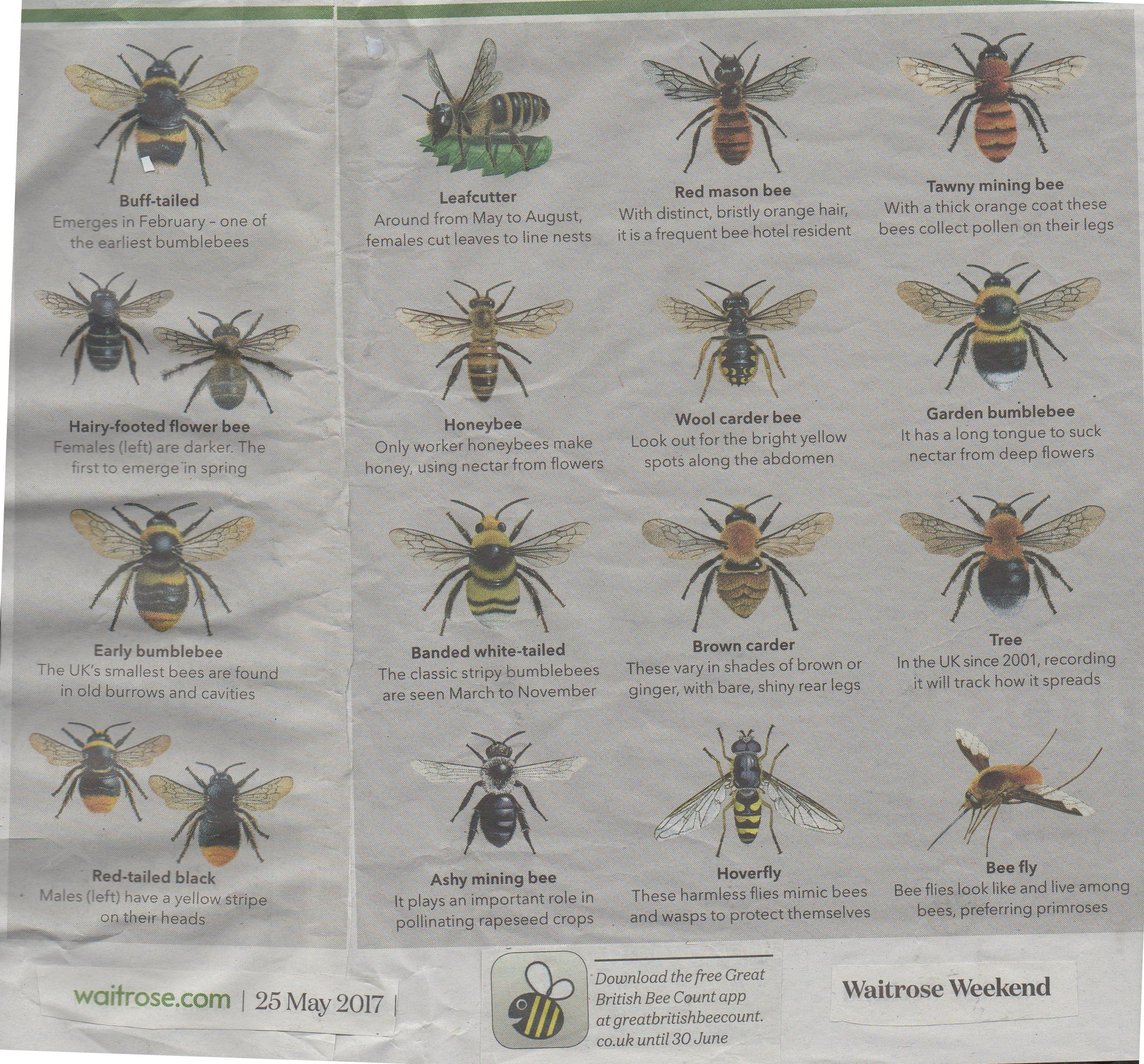 Bee identification  There are  250 species of native bee in Britain   incluing 19. Bee identification  There are  250 species of native bee in