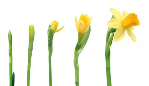 Timelines In 2020 Daffodils Growth Spring Sign