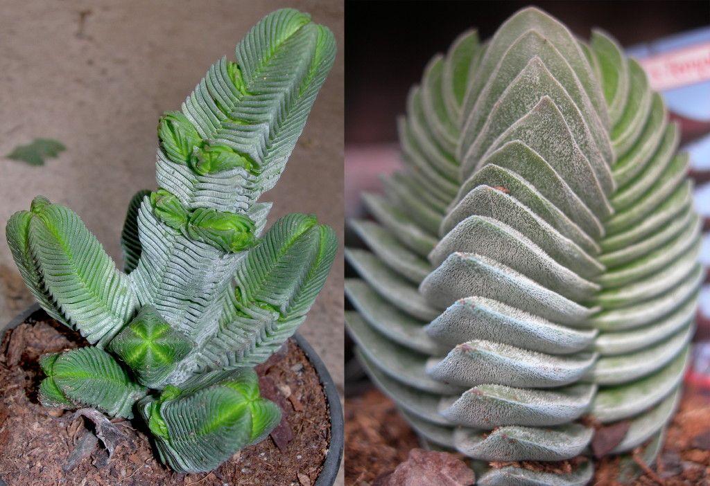 Fotos Viveros Vangarden: Crassula pyramidalis