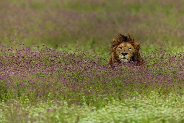 Do Lions Eat Meat Flesh  Poachers  Africa Freak Lion in a field of purple flowers Ngorongoro CraterLion in a field of purple flowers Ngorongoro Crater Get tips on photogr...