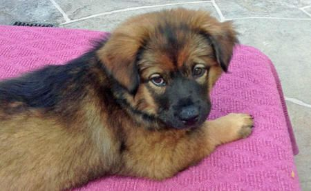 Chow Dog Photo Dj The Chow Chow Mix Puppies Daily Puppy