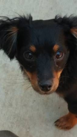 Lost My Small Breed Puppy Bellflower I Lost My Dog Mini Pin