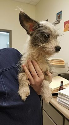 NEW YORK, NY LACEY is a Yorkie, Yorkshire Terrier for