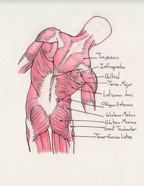 for your information.... | Anatomia | Pinterest | Músculos, Anatomía ...